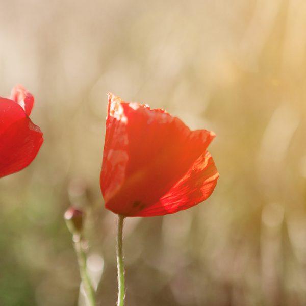 two-poppy